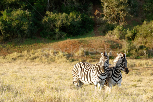 Two Zebras standing in a field in Addo Stock photo © markdescande