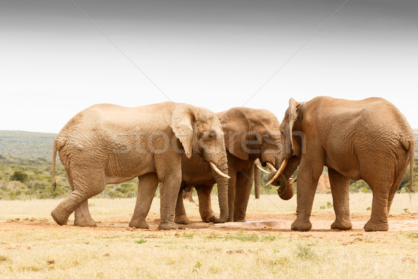 The secret gathering of the African Bush Elephant Stock photo © markdescande