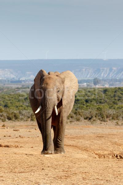 Portret afrikaanse bush olifant bruin grond Stockfoto © markdescande