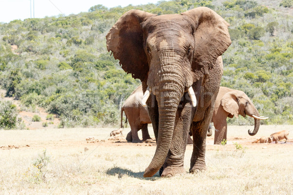 African Elephant standing tall  Stock photo © markdescande