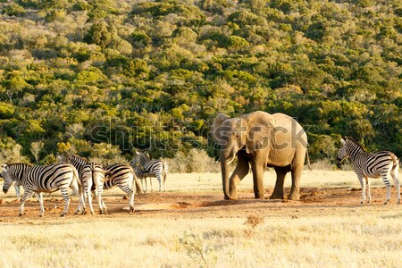 Burchells Zebra at the watering hole. Stock photo © markdescande
