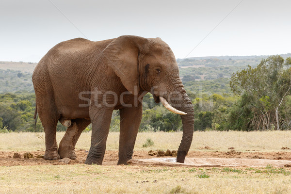 Bush elephant sucking up the last bit of water Stock photo © markdescande