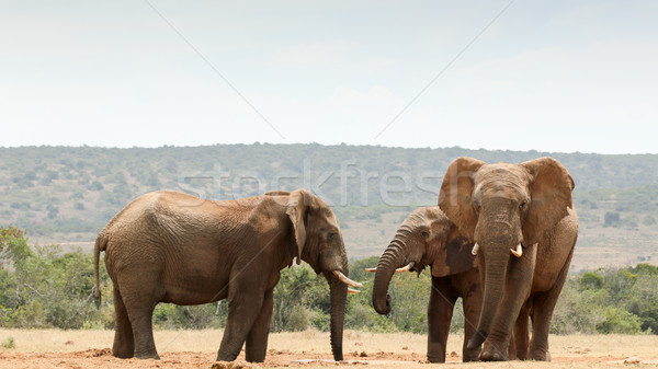 Bush Elephants gathering at the dam Stock photo © markdescande