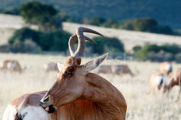 Red Hartebeest with pesky flies. Stock photo © markdescande