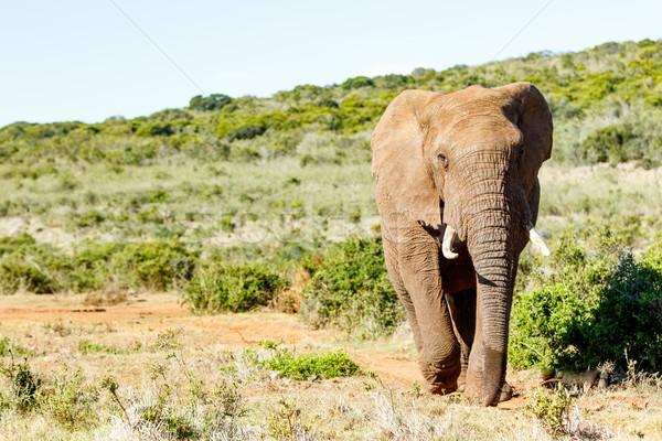 Afrikai bokor elefánt sétál mező erdő Stock fotó © markdescande