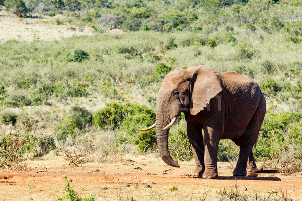 African Bush Elephant sneaky look Stock photo © markdescande