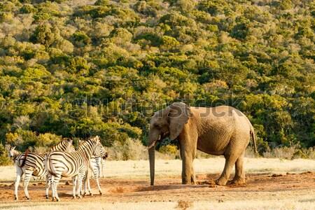 Enyém láb lefelé afrikai bokor elefánt Stock fotó © markdescande