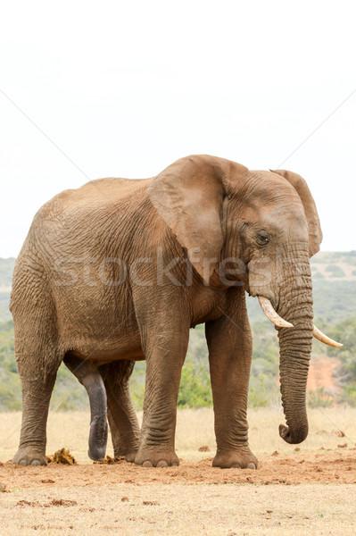 Bokor elefánt áll lefelé néz föld erdő Stock fotó © markdescande