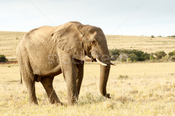 Trun up and lets walk - The African Bush Elephant Stock photo © markdescande