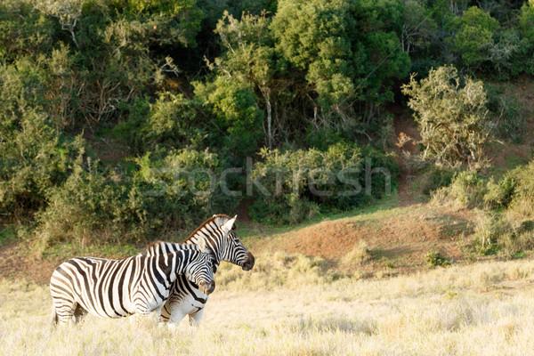 Iki zebra sevmek diğer alan gökyüzü Stok fotoğraf © markdescande