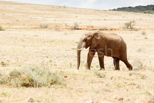 Just one Happy African Bush Elephant Stock photo © markdescande