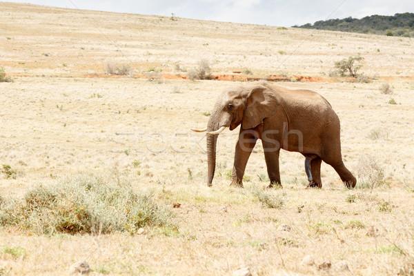 Stock fotó: Egy · boldog · afrikai · bokor · elefánt · sétál