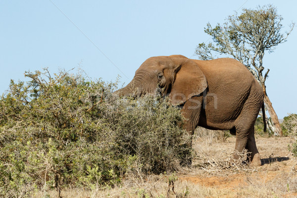 Bush Elephant with his trunk in the bushes Stock photo © markdescande