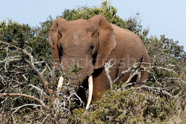 Bush olifant permanente achter vol Stockfoto © markdescande