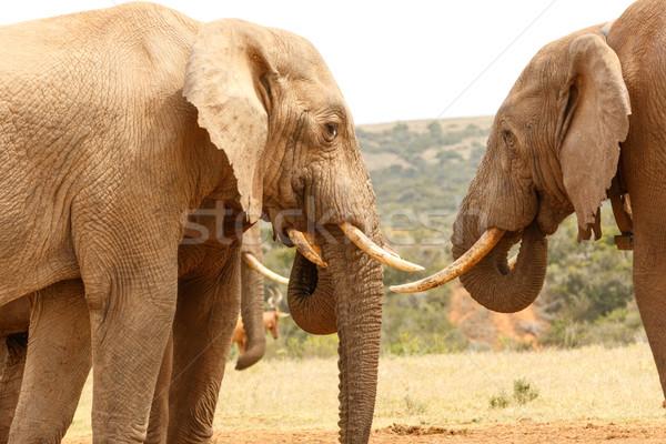 çalı filler yukarı ayakta yakın diğer Stok fotoğraf © markdescande