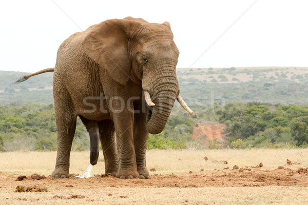 Bush Elephant with his head down and tail in the air Stock photo © markdescande