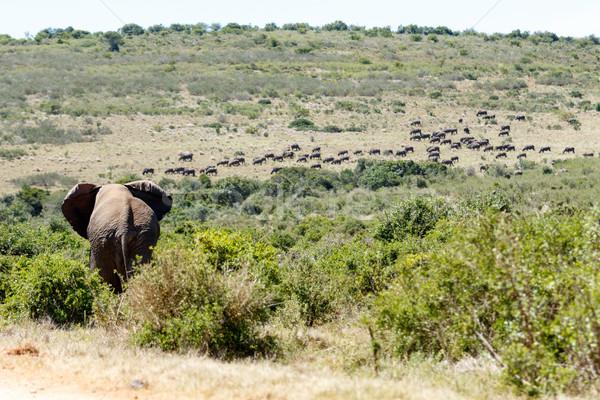 Bush Elephant walking towards the field Stock photo © markdescande
