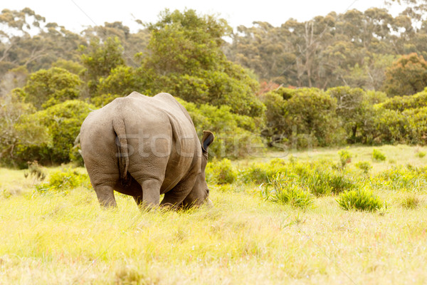 The backside of a rhino eating grass Stock photo © markdescande