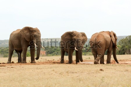 Bush Elephant showing who's the boss Stock photo © markdescande