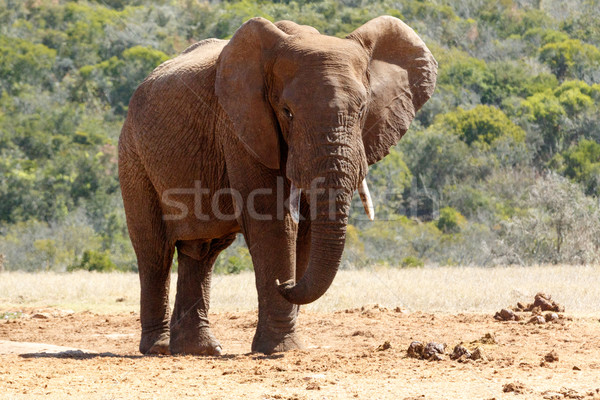 Bush Elephant with flap ears and crossed over legs Stock photo © markdescande