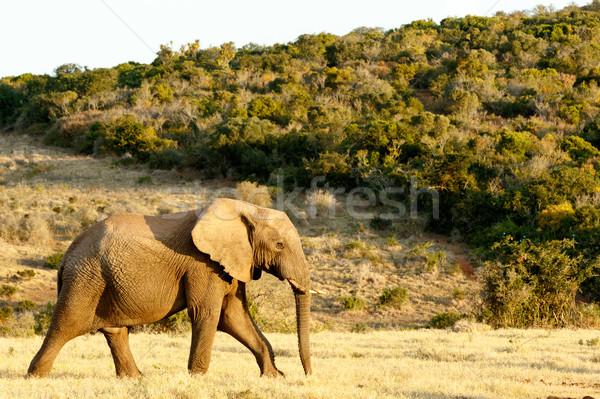 Africaine Bush éléphant façon eau Photo stock © markdescande