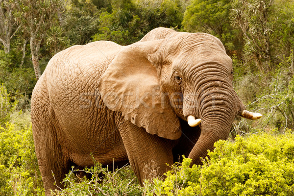 Elephant stretching down with his trunk Stock photo © markdescande