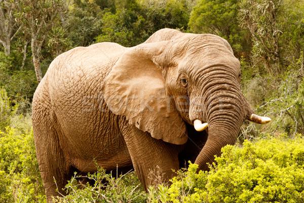 Fil aşağı şube orman doğa Stok fotoğraf © markdescande