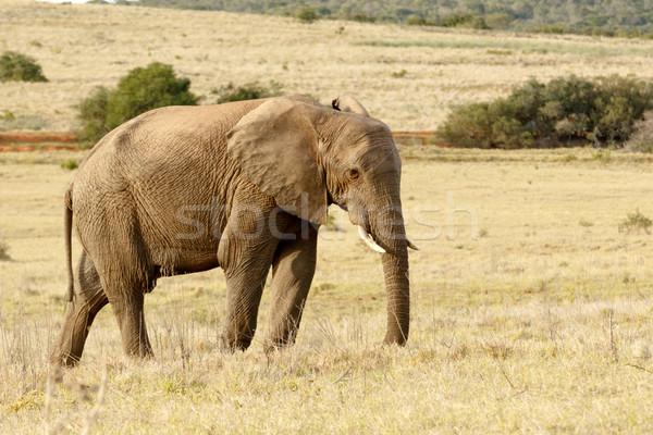 Foto stock: Elefante · em · pé · pensando · momento · abrir · amarelo