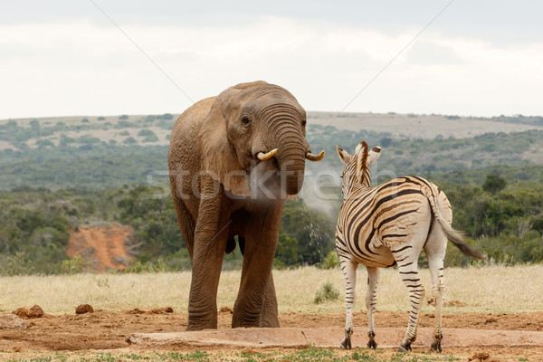 Bush Elephant blowing water to the zebra Stock photo © markdescande