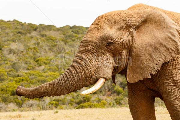 象 トランペット 空気 アップ 森林 自然 ストックフォト © markdescande