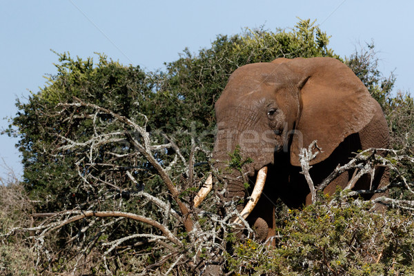 Bush Elephant with his tusks in the branches Stock photo © markdescande