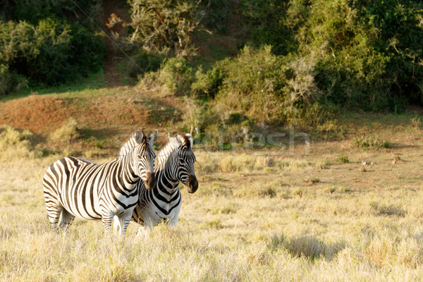 Burchell's Zebra standing in a field Stock photo © markdescande
