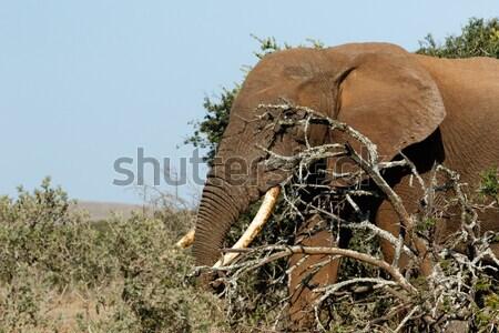 Bokor elefánt ágak mező erdő természet Stock fotó © markdescande