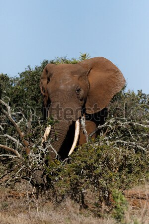 Bush Elephant with his trunk around the branches Stock photo © markdescande