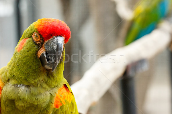 Parrot with an attitude Stock photo © markdescande