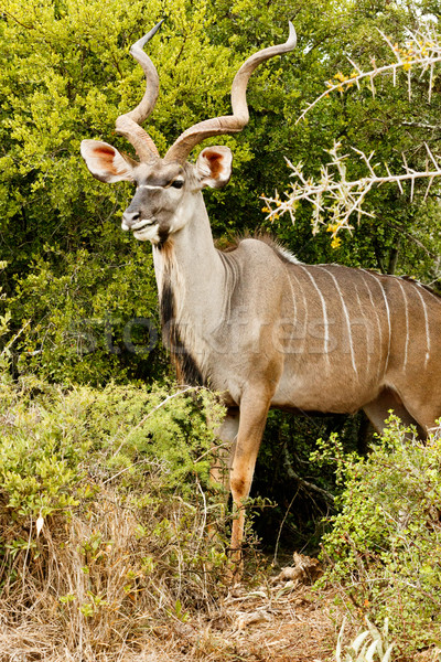Side View of a Greater Kudu Stock photo © markdescande