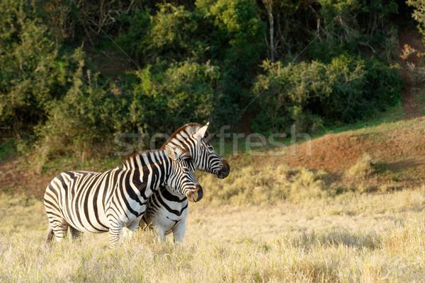 Zebra szeretet kettő égbolt fű háttér Stock fotó © markdescande