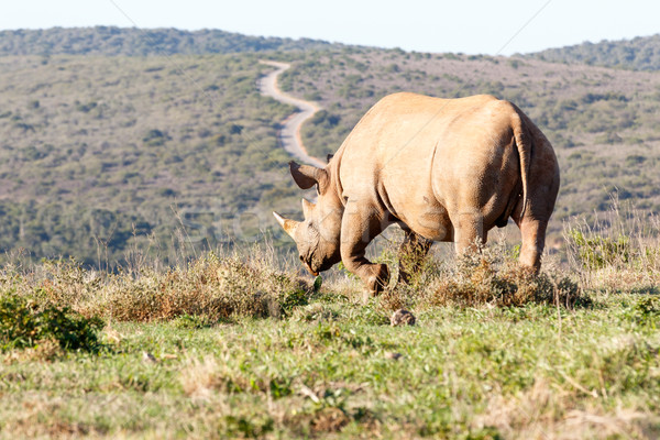 Black Rhinoceros lifting his leg  Stock photo © markdescande