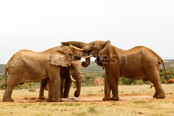 Elephant Standing with his trunk on his friends head Stock photo © markdescande