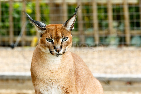 Male Rooikat wild cat looking at you Stock photo © markdescande