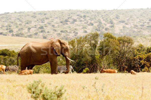 Stock fotó: Bokor · elefánt · összes · állatok · áll · néz