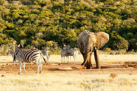 Elefánt zebra áll üres víz lyuk Stock fotó © markdescande