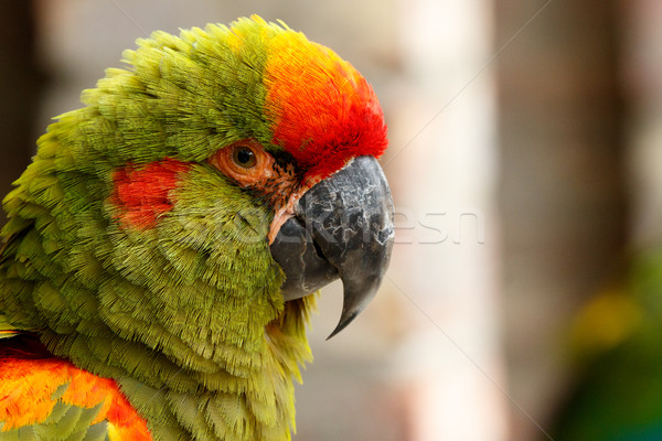 Parrot sitting and looking at you Stock photo © markdescande