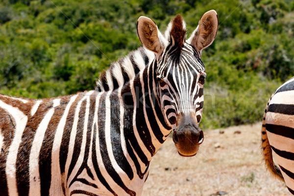 Zebra néz mi égbolt fű háttér Stock fotó © markdescande