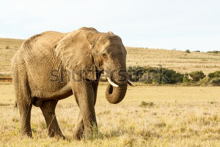 African Elephant Eating grass in a field Stock photo © markdescande