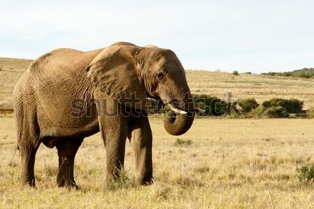 Yeme çim alanı sarı afrika fil alan Stok fotoğraf © markdescande