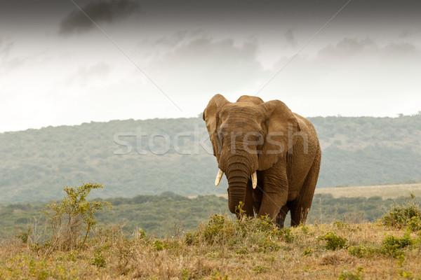 Bokor elefánt sétál felfelé domb messze Stock fotó © markdescande