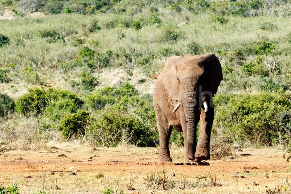 Afrikai elefánt emel láb séta erdő természet Stock fotó © markdescande