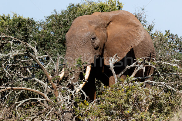 Side view of the Bush Elephant standing behind the branches Stock photo © markdescande