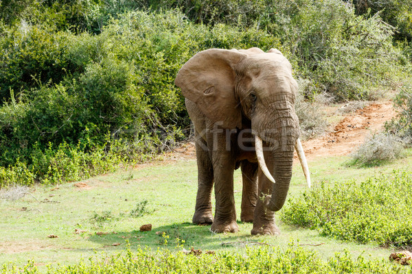 Take this side African Bush Elephant Stock photo © markdescande
